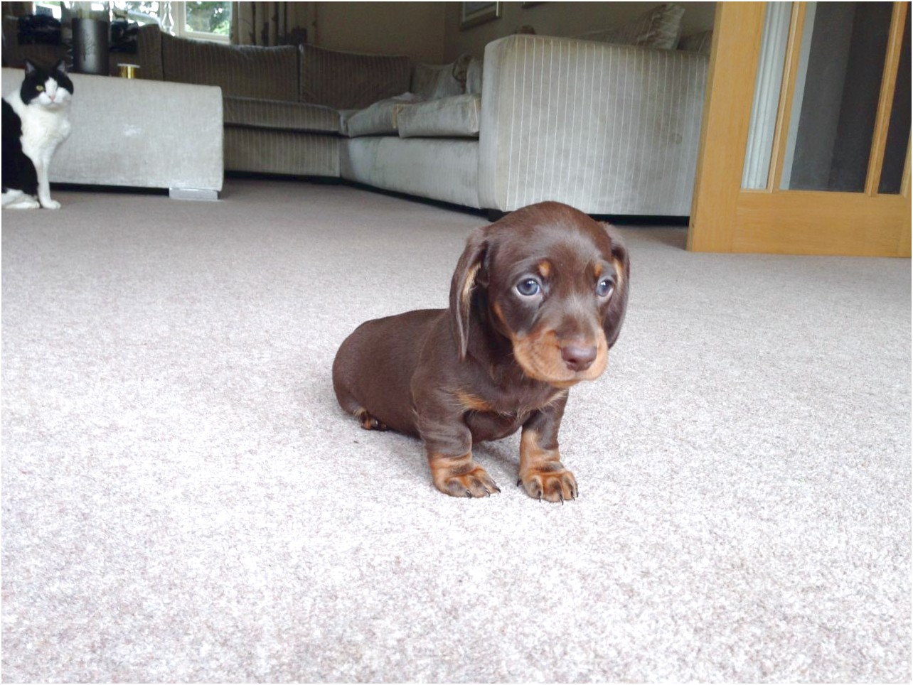 miniature dachshund puppies for sale oxfordshire