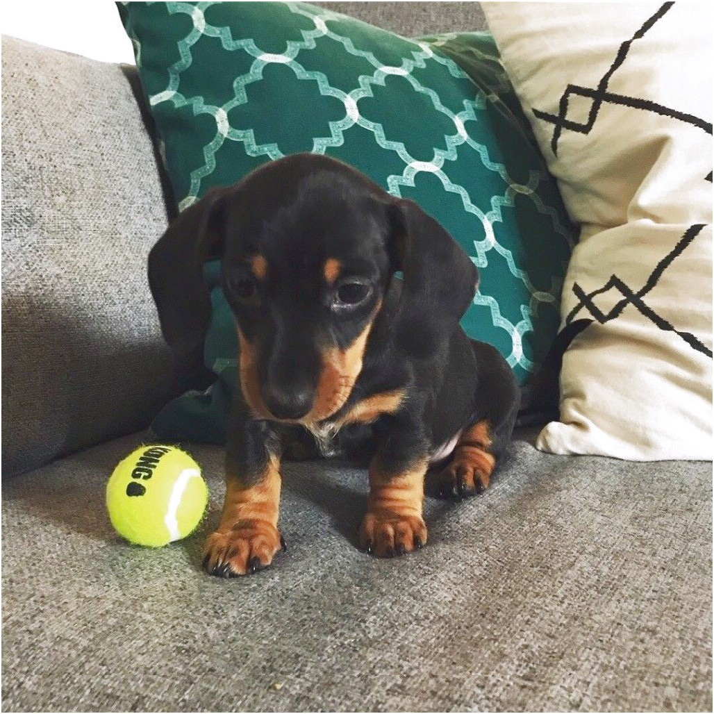 miniature dachshund puppies for sale pembrokeshire