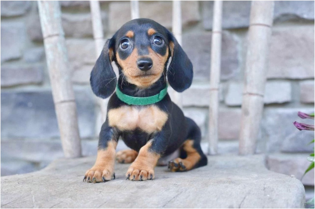 miniature dachshund puppies for sale peterborough