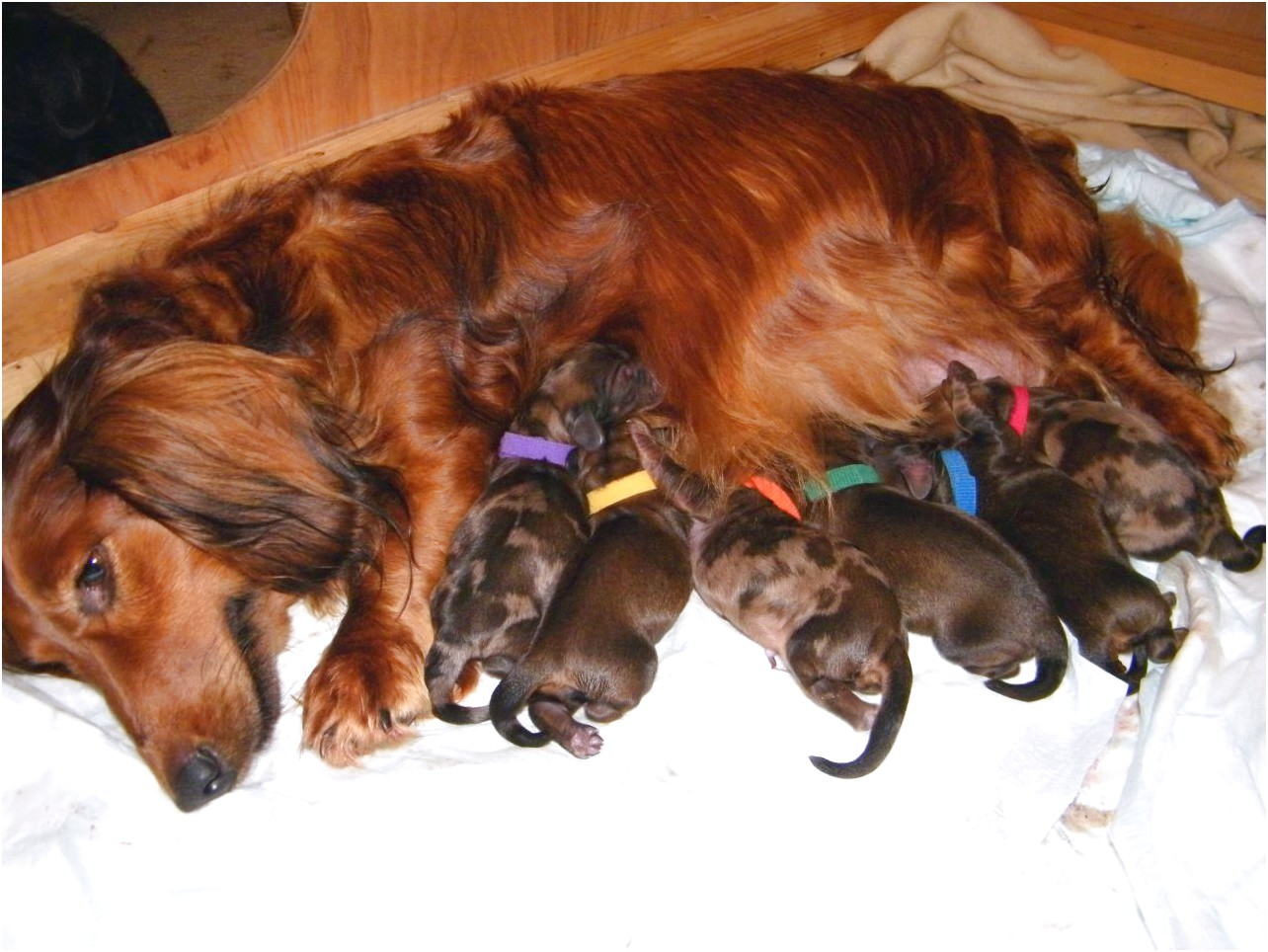 miniature dachshund puppies for sale plymouth