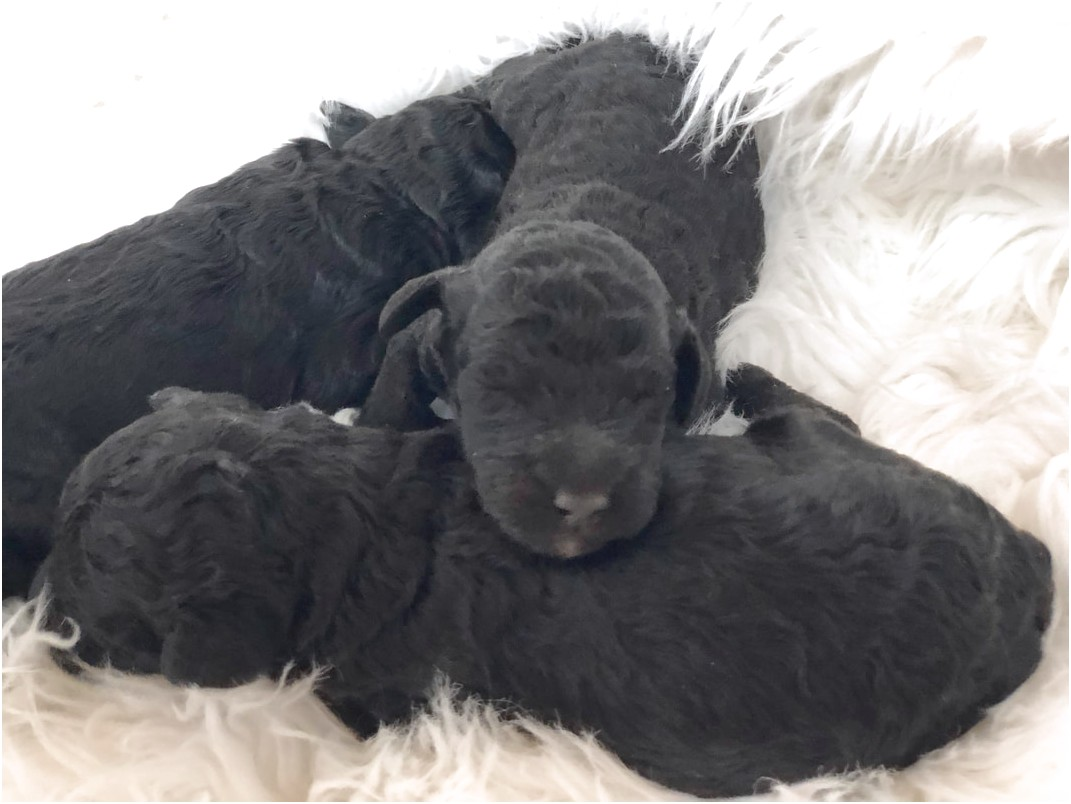 miniature dachshund puppies for sale rochester ny