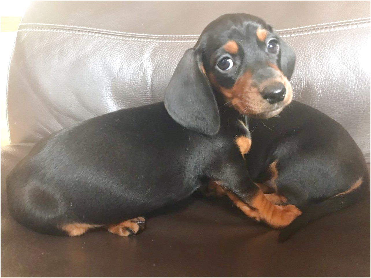 miniature dachshund puppies for sale romford