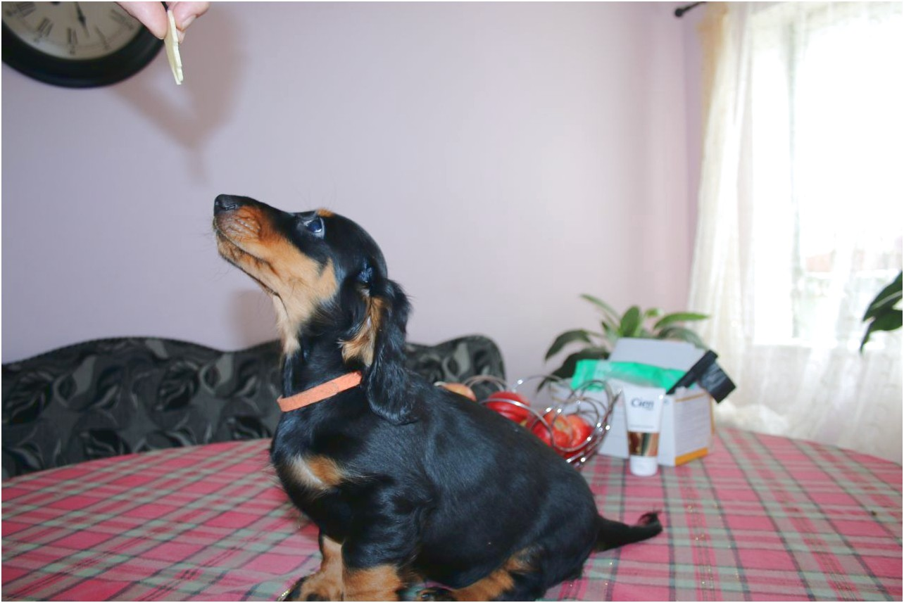 miniature dachshund puppies for sale rotherham
