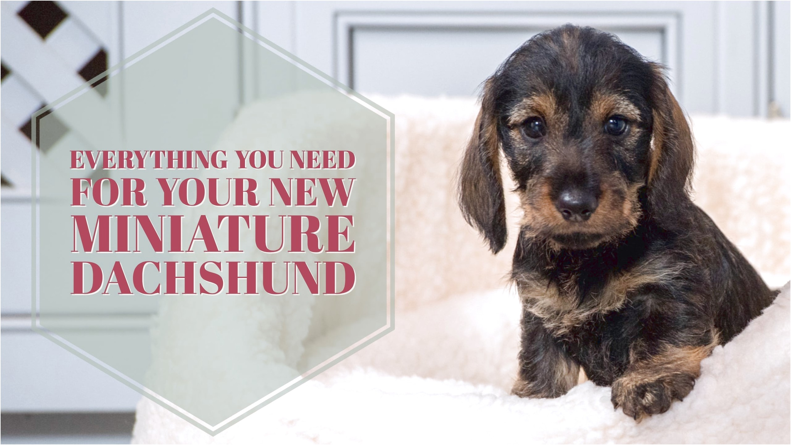 miniature dachshund puppies for sale scotland
