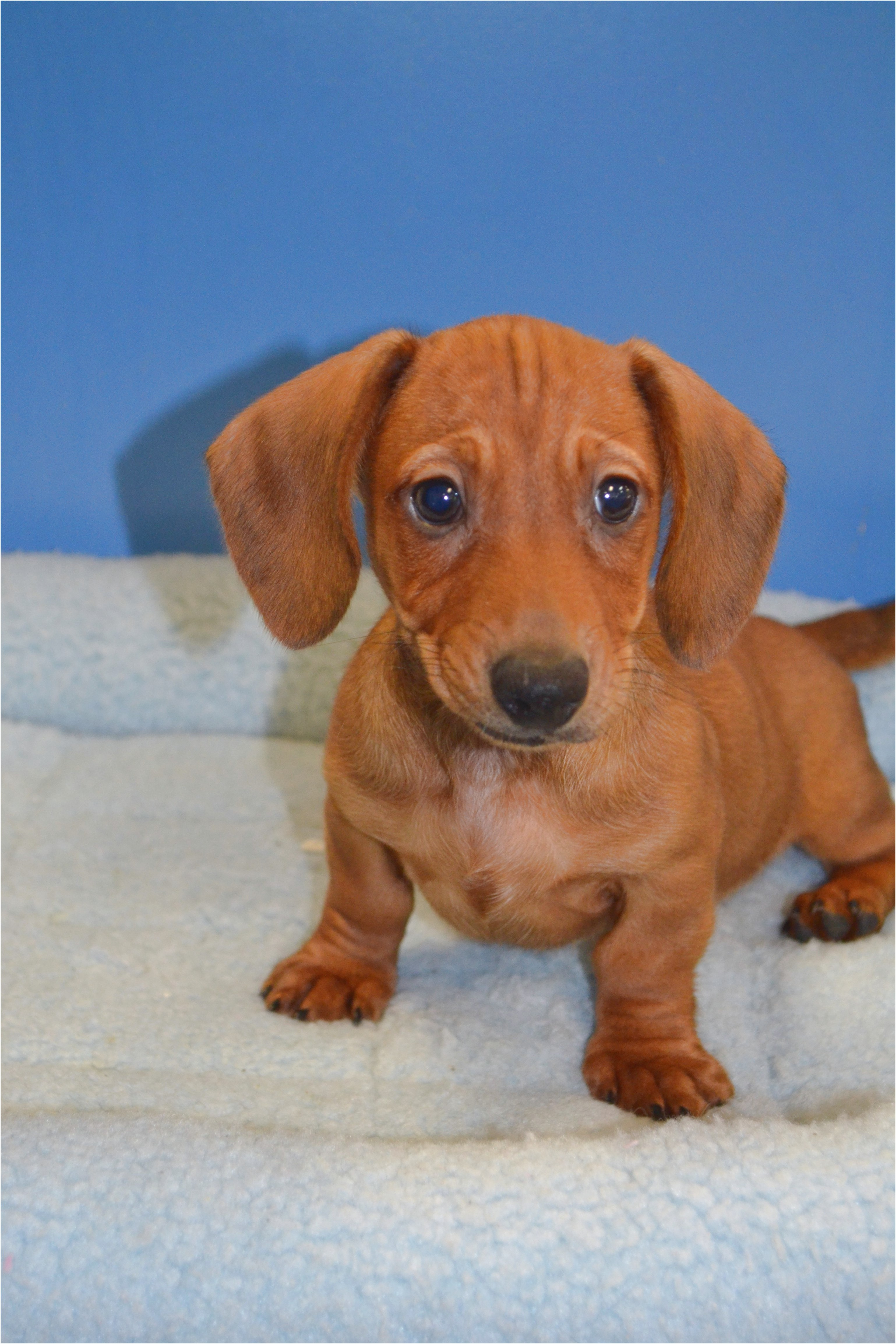 miniature dachshund puppies for sale south wales