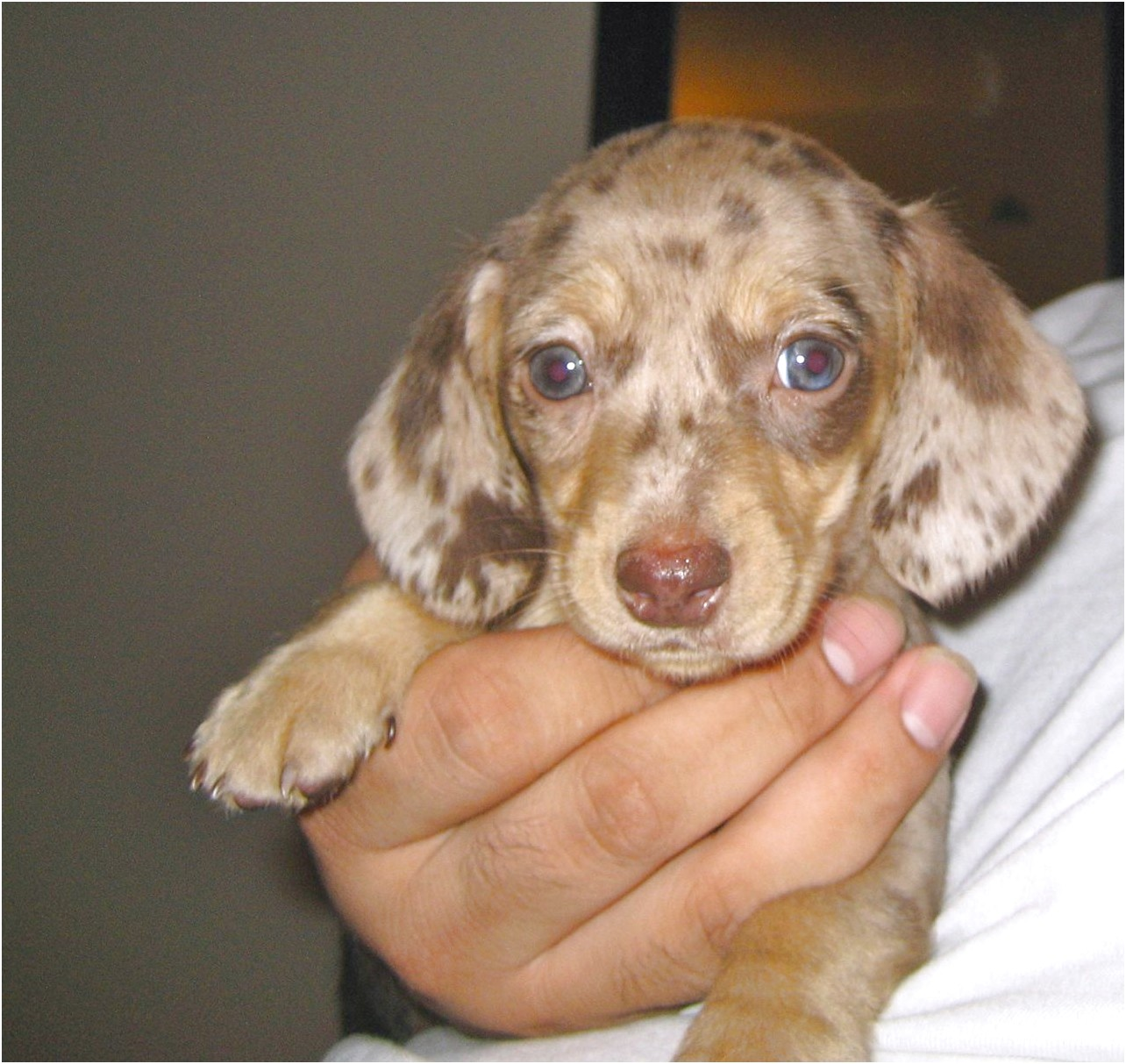 miniature dachshund puppies for sale sydney