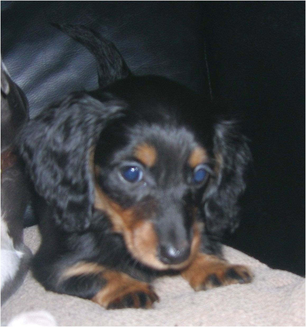 miniature dachshund puppies for sale texas