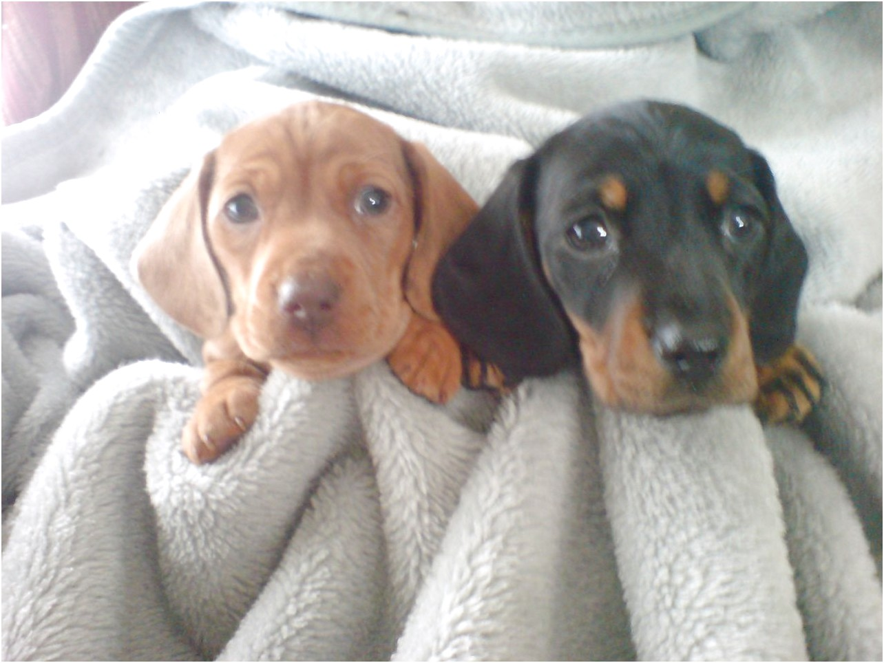 miniature dachshund puppies for sale uk