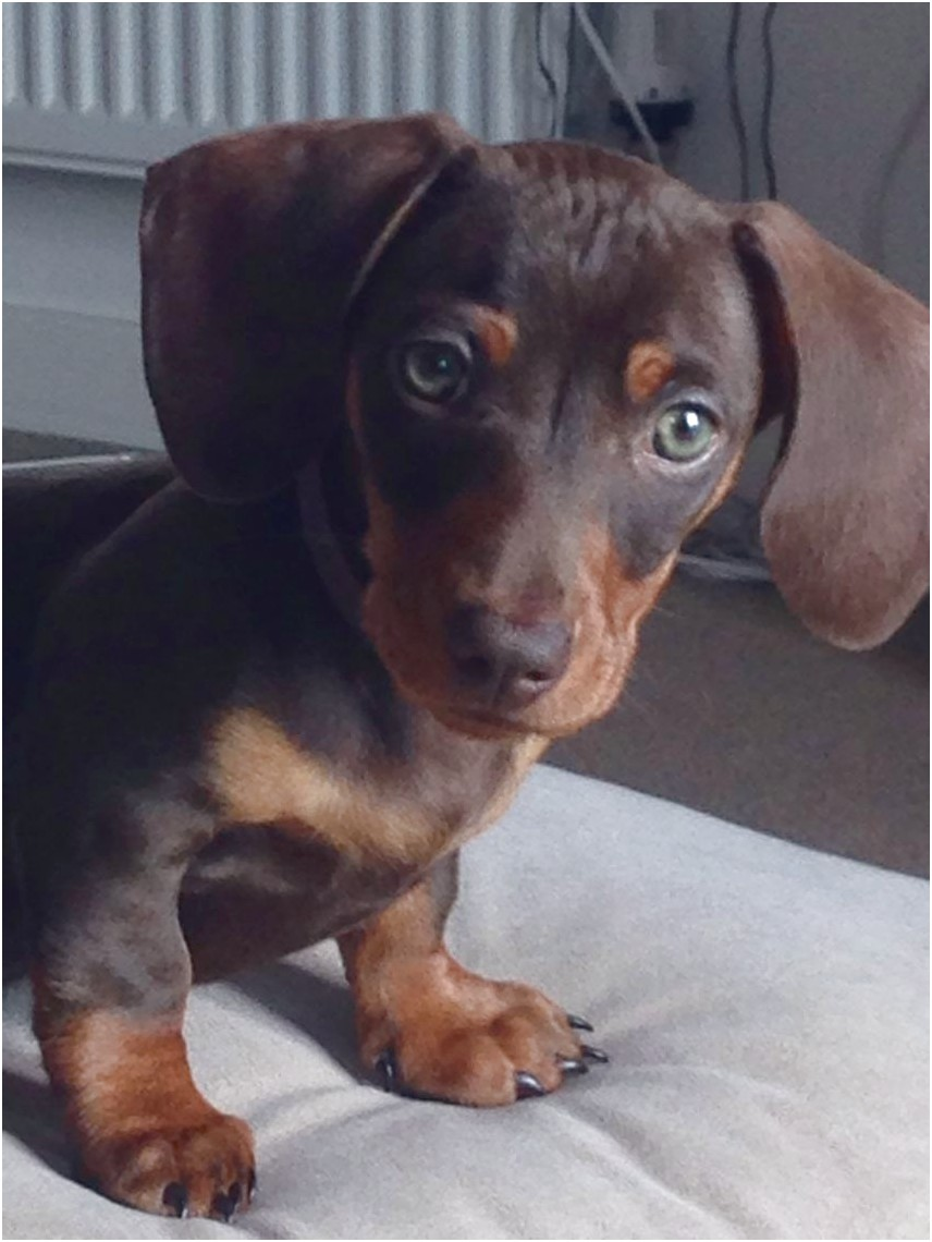 miniature dachshund puppies for sale under 300