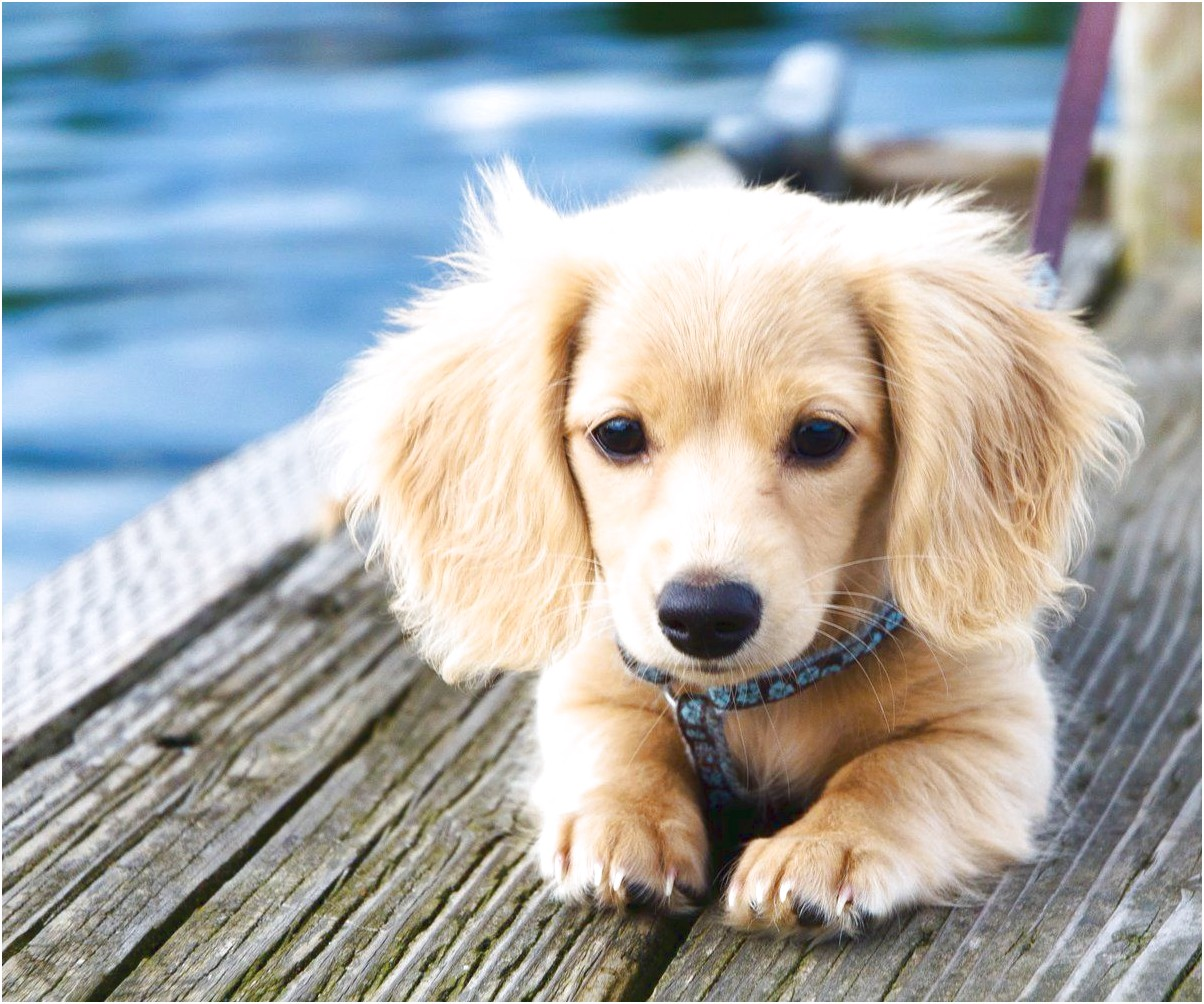 miniature dachshund puppies for sale usa