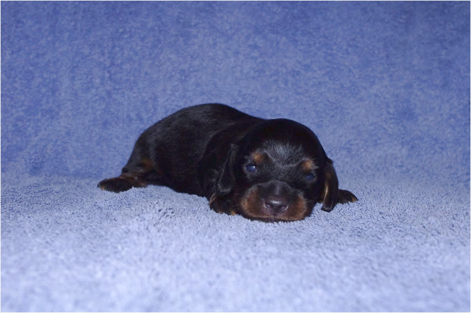 miniature dachshund puppies for sale washington state
