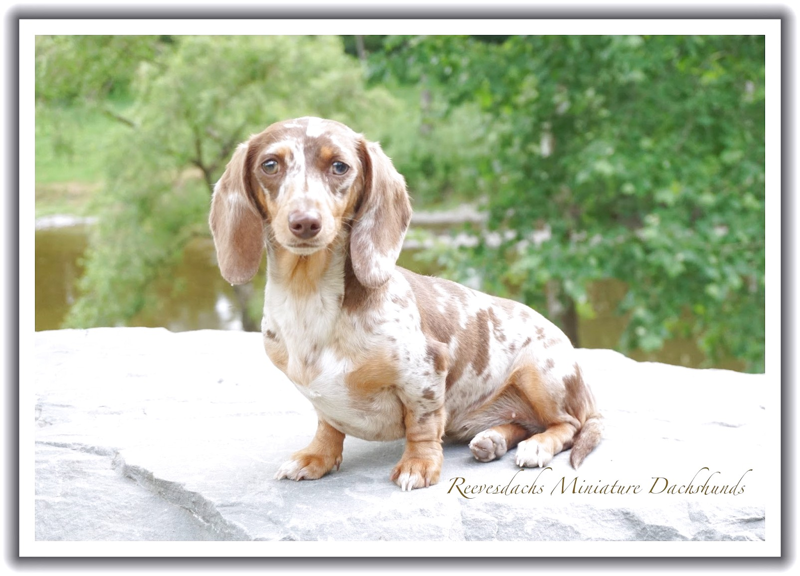 miniature dachshund puppies for sale york pa