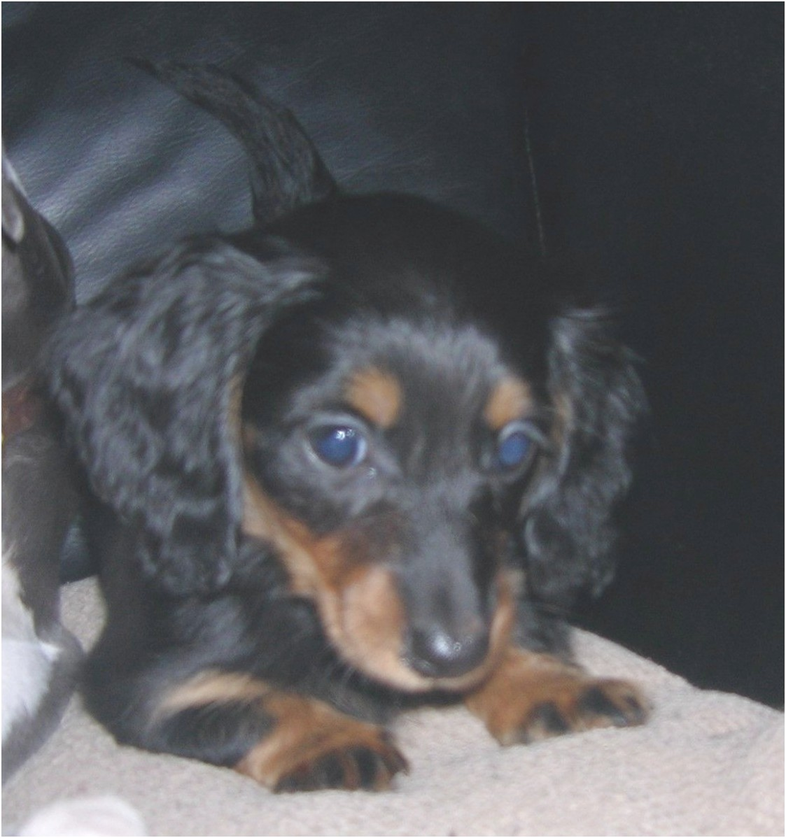 miniature dachshund puppies for sale york