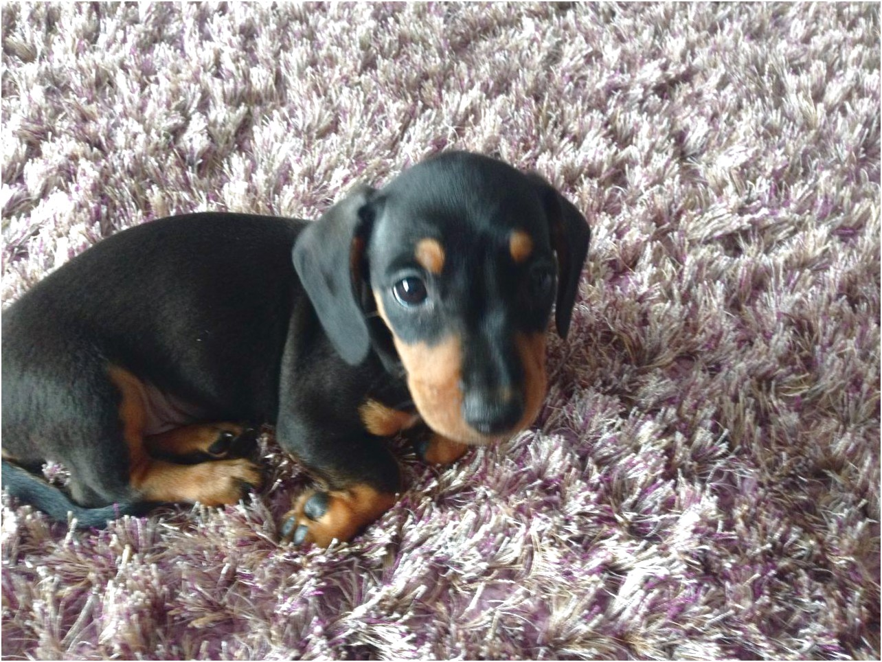 miniature dachshund puppies for sale yorkshire