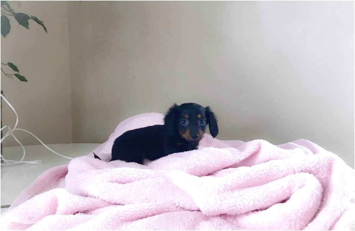 miniature dachshund puppies ohio