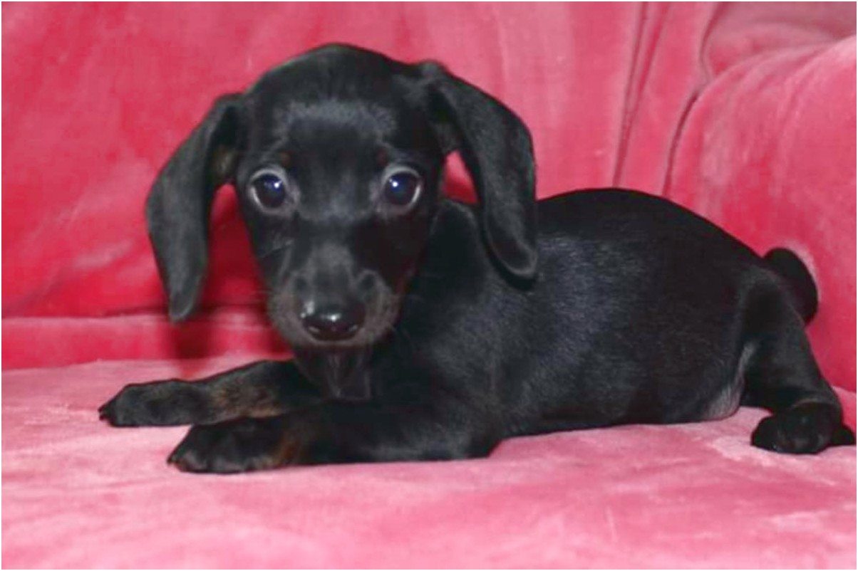 miniature dapple dachshund puppies for sale in ohio