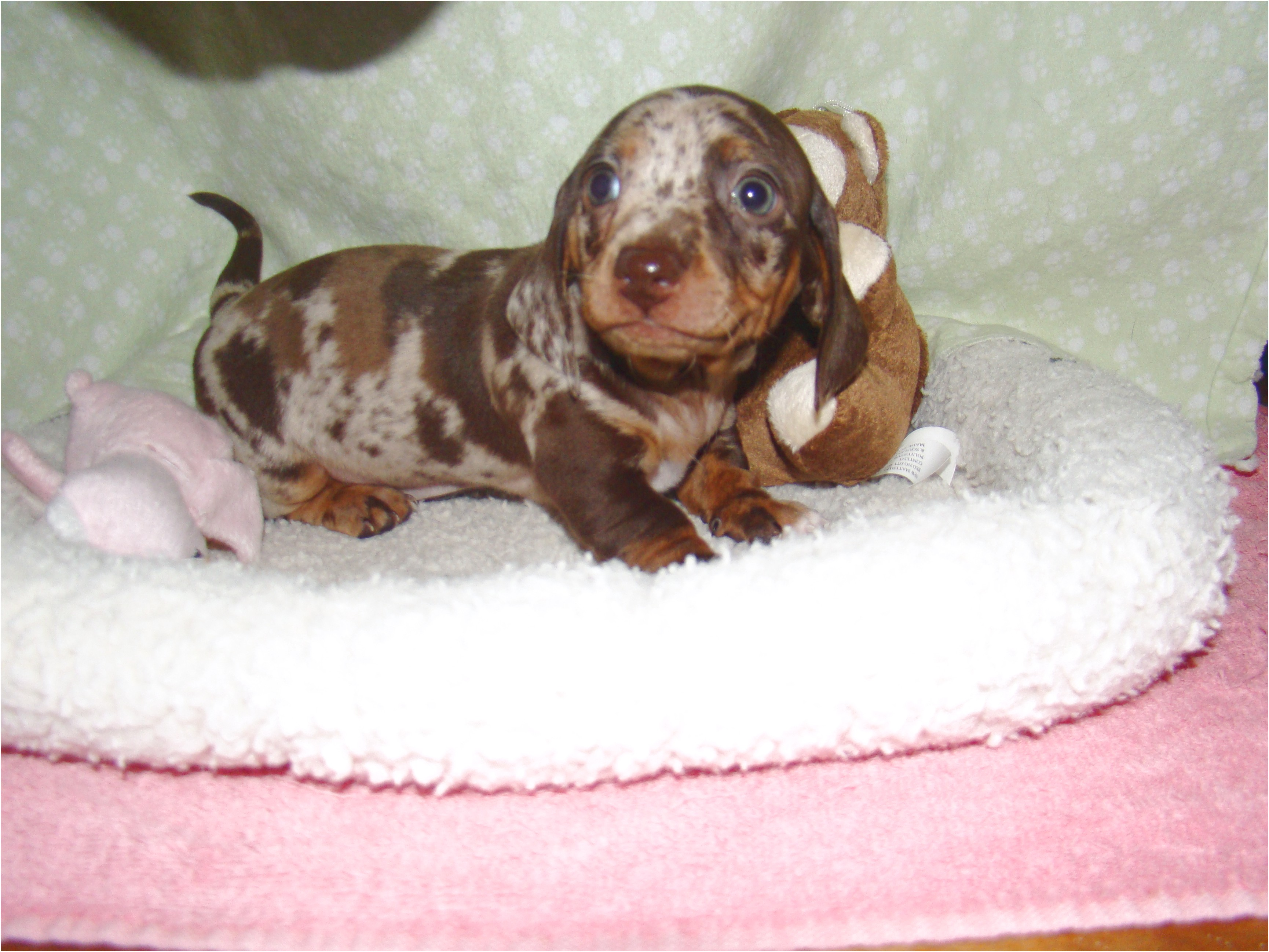 miniature dapple dachshund puppies for sale in pa
