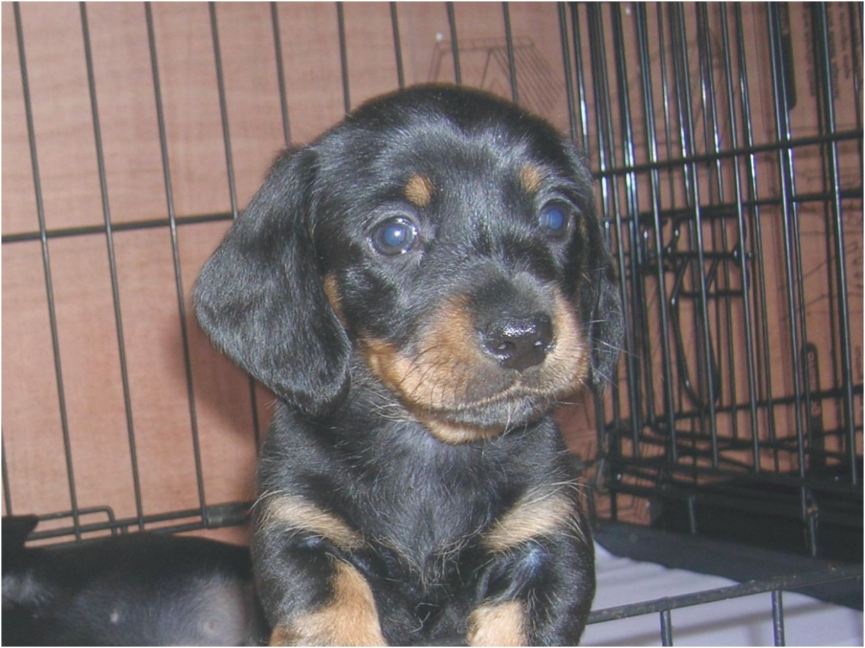 miniature dapple dachshund puppies for sale oklahoma