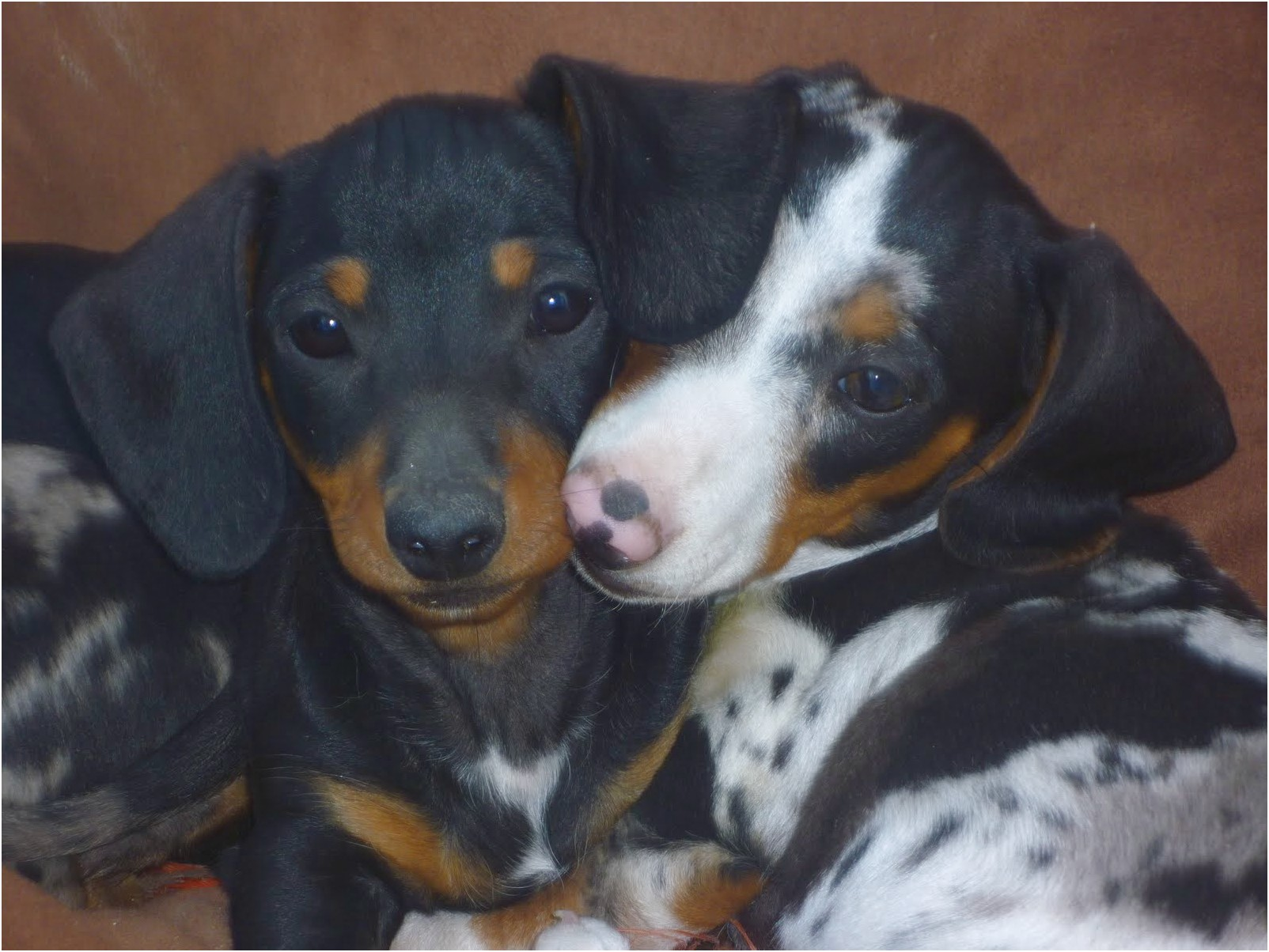 miniature double dapple dachshund puppies for sale