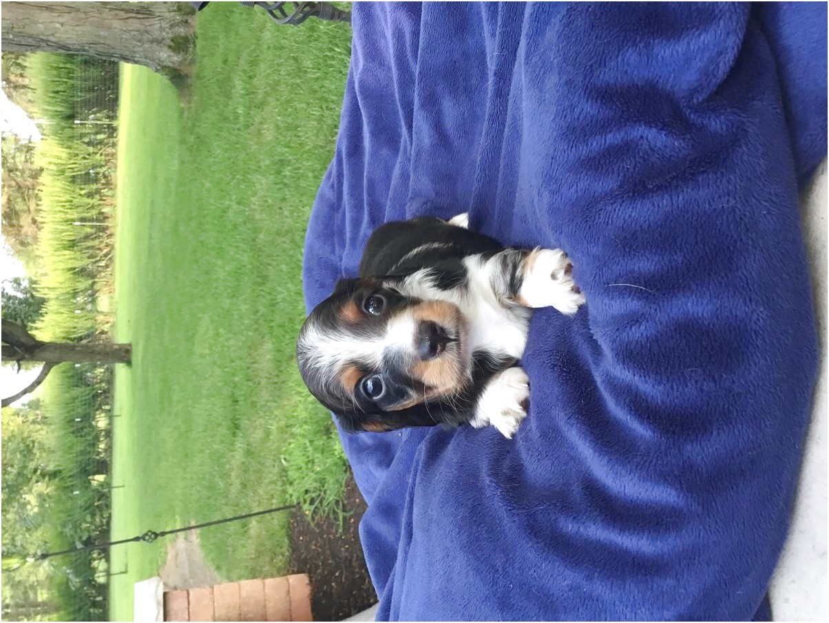 miniature long haired dachshund puppies for sale in ohio
