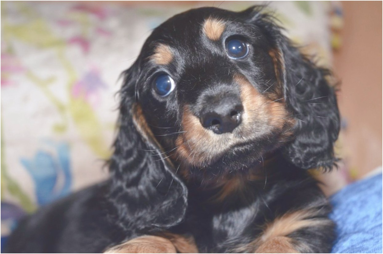 miniature long haired dachshund puppies for sale in pa