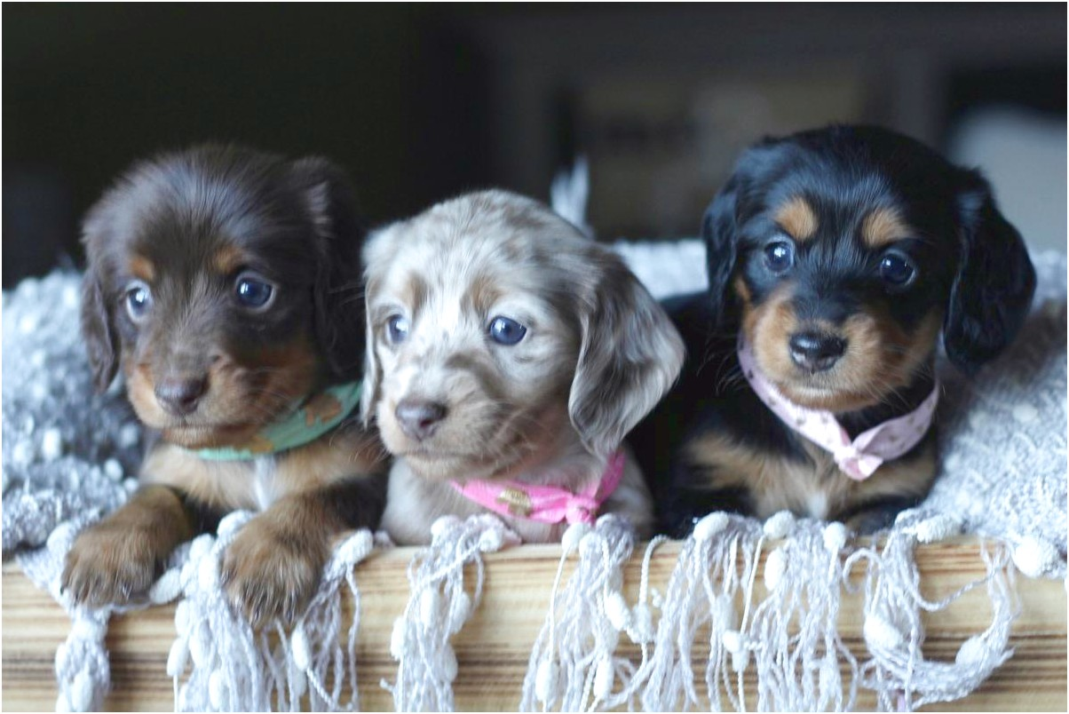 miniature long haired dapple dachshund puppies for sale in ga