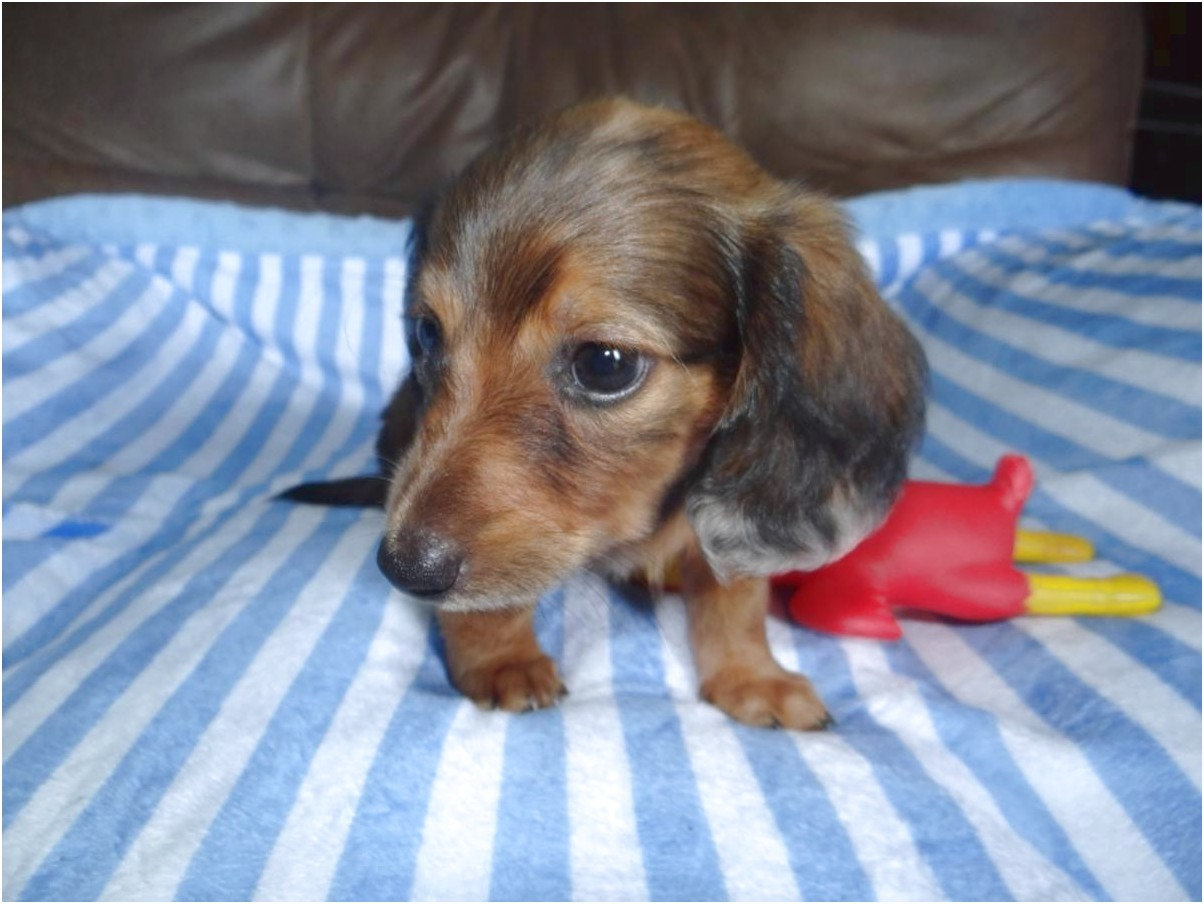 miniature long haired dapple dachshund puppies for sale in texas