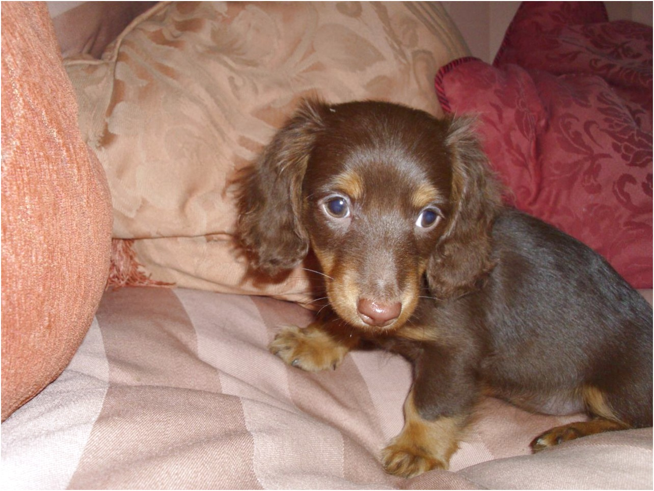miniature long haired dapple dachshund puppies for sale uk