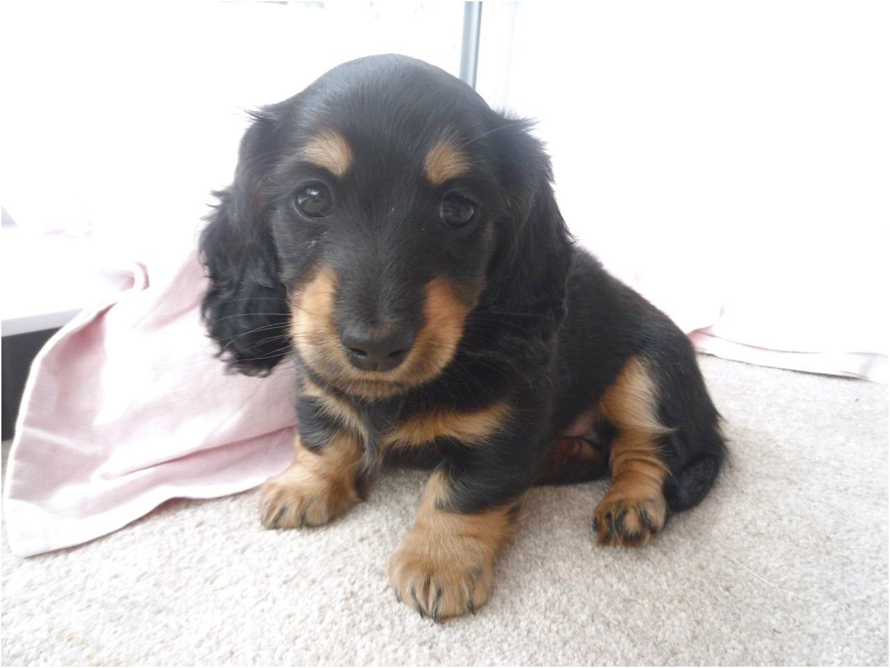 miniature longhaired dachshund puppies for sale near me