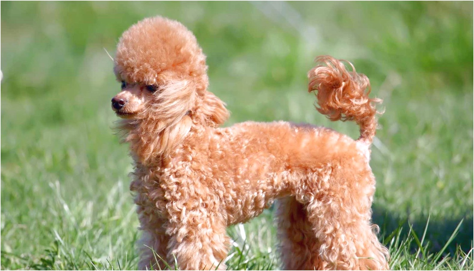 miniature poodle puppies for sale near me