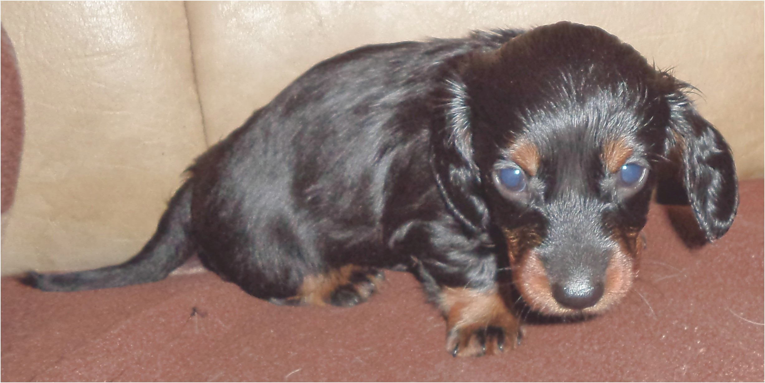 miniature short haired dachshund for sale near me