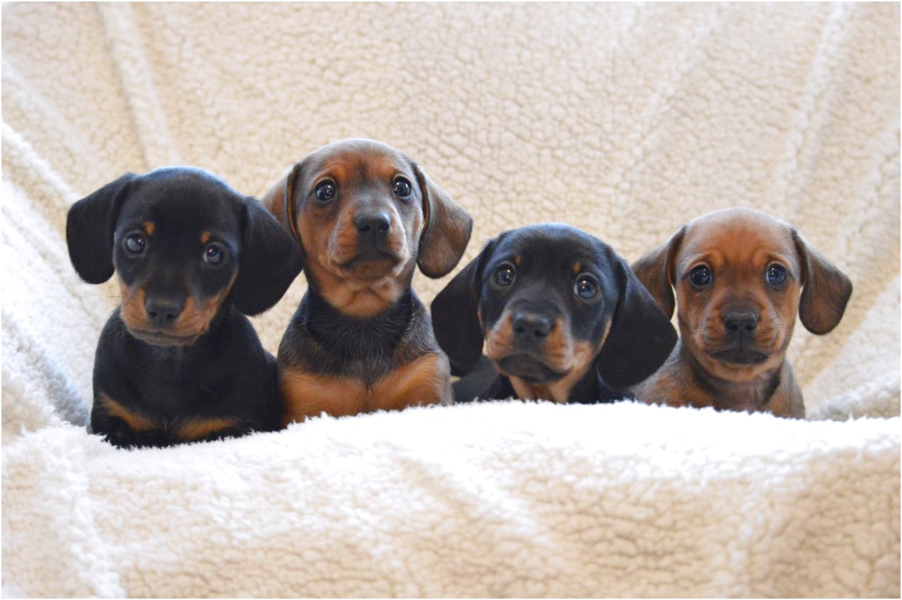 miniature short haired dachshund puppies for sale near me