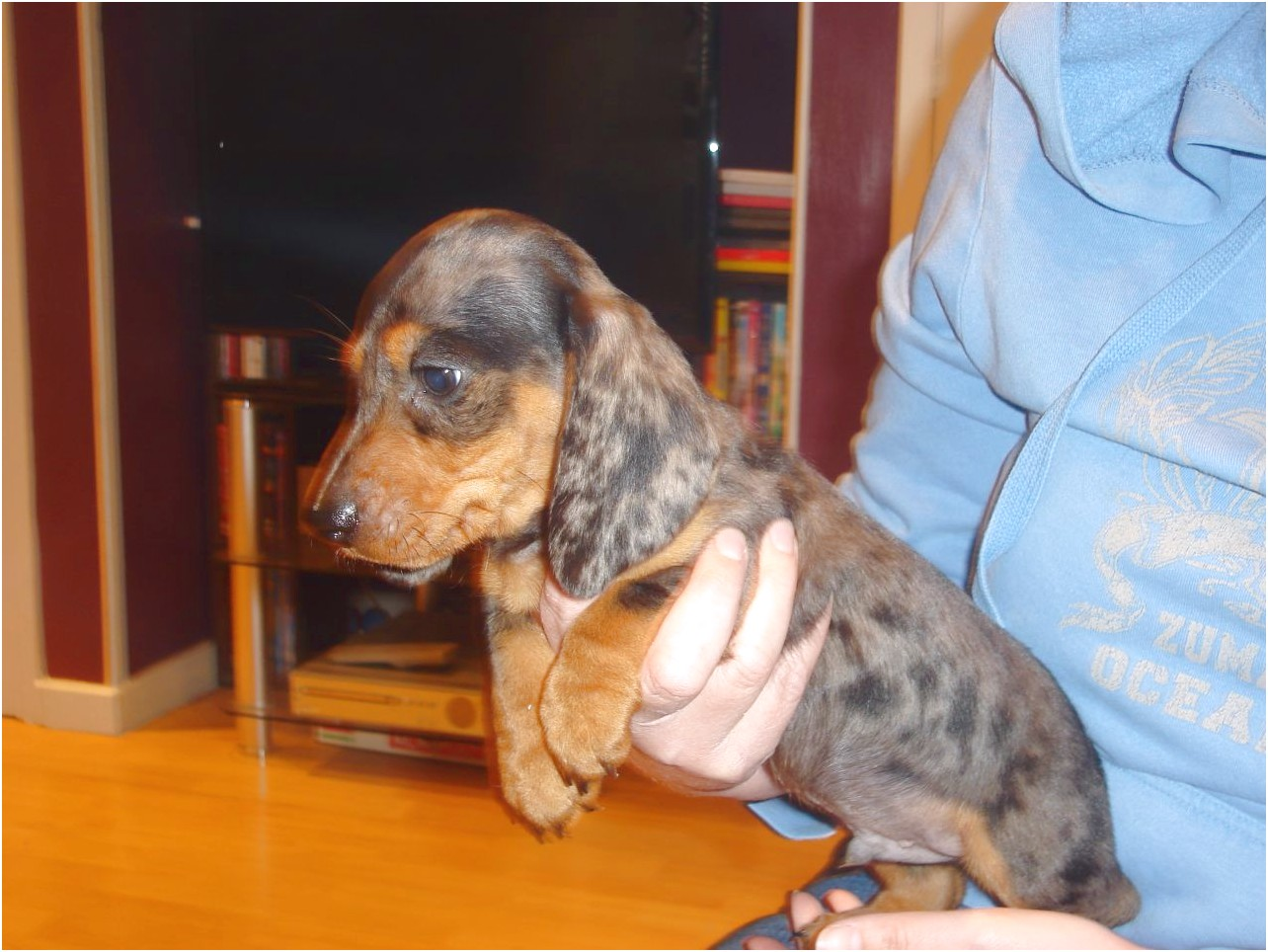 miniature short haired dapple dachshund puppies for sale
