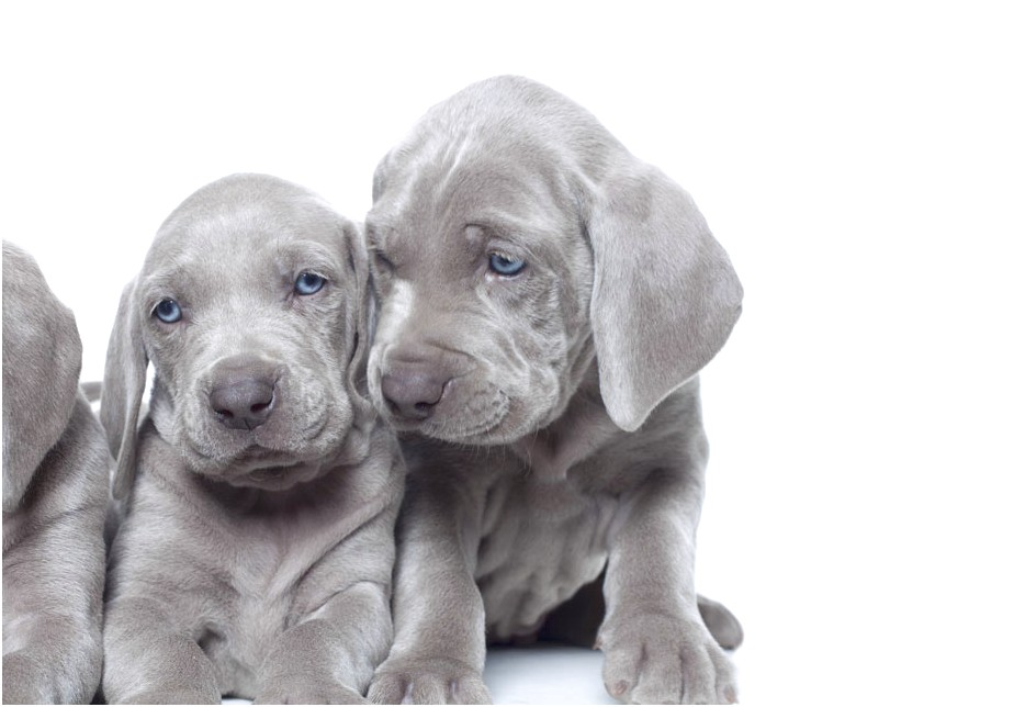 miniature weimaraner puppies for sale
