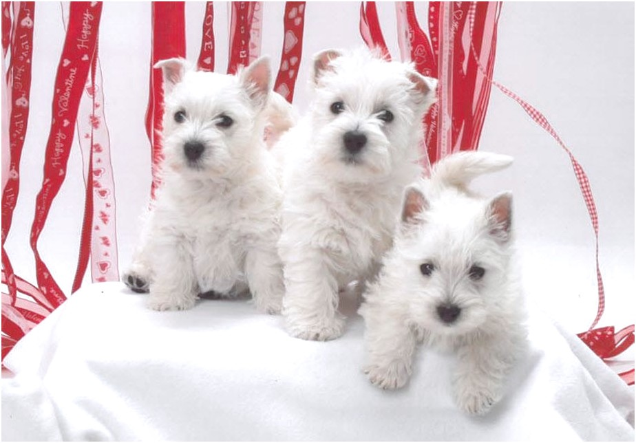 miniature westie puppies for sale