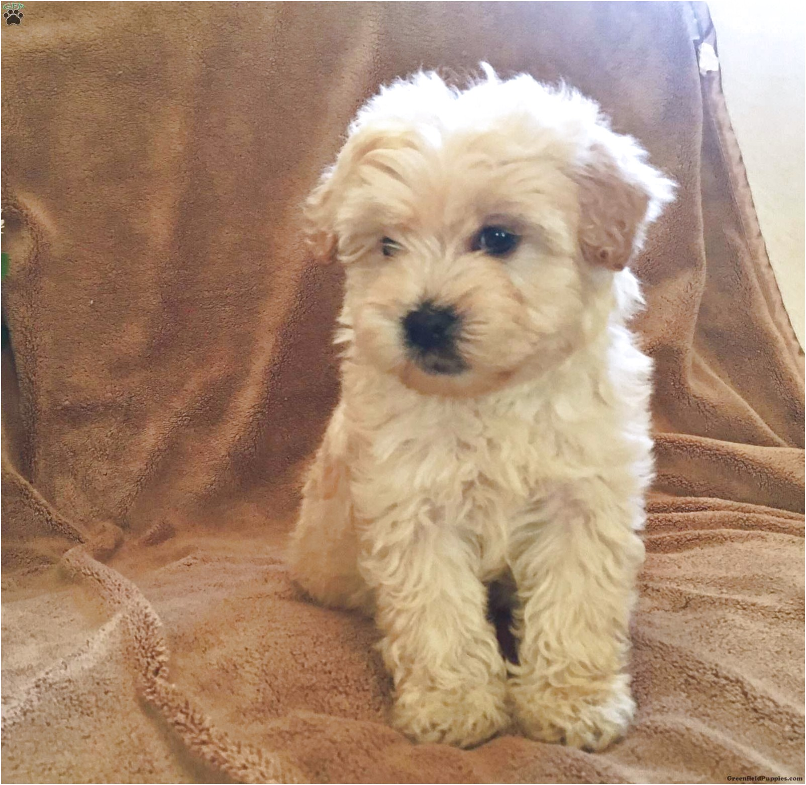 Miniature Whoodle Puppies For