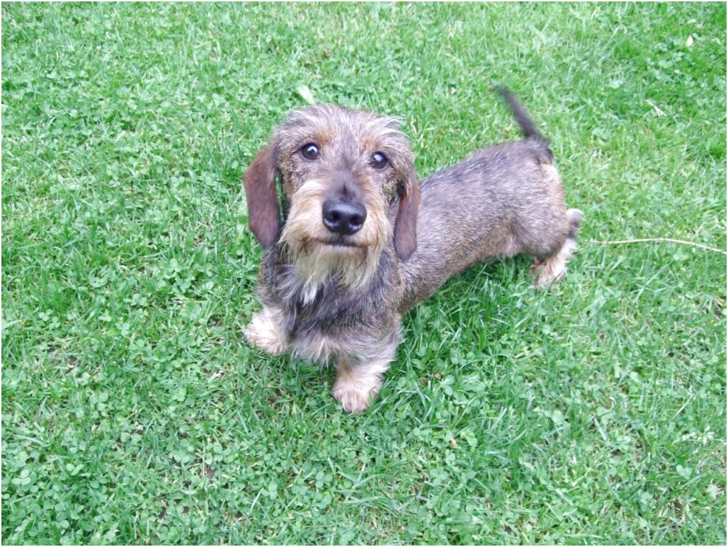 miniature wire haired dachshund for sale near me