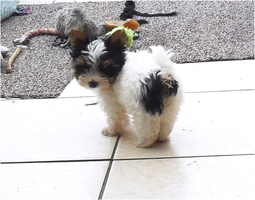 miniature yorkshire terrier for sale derby