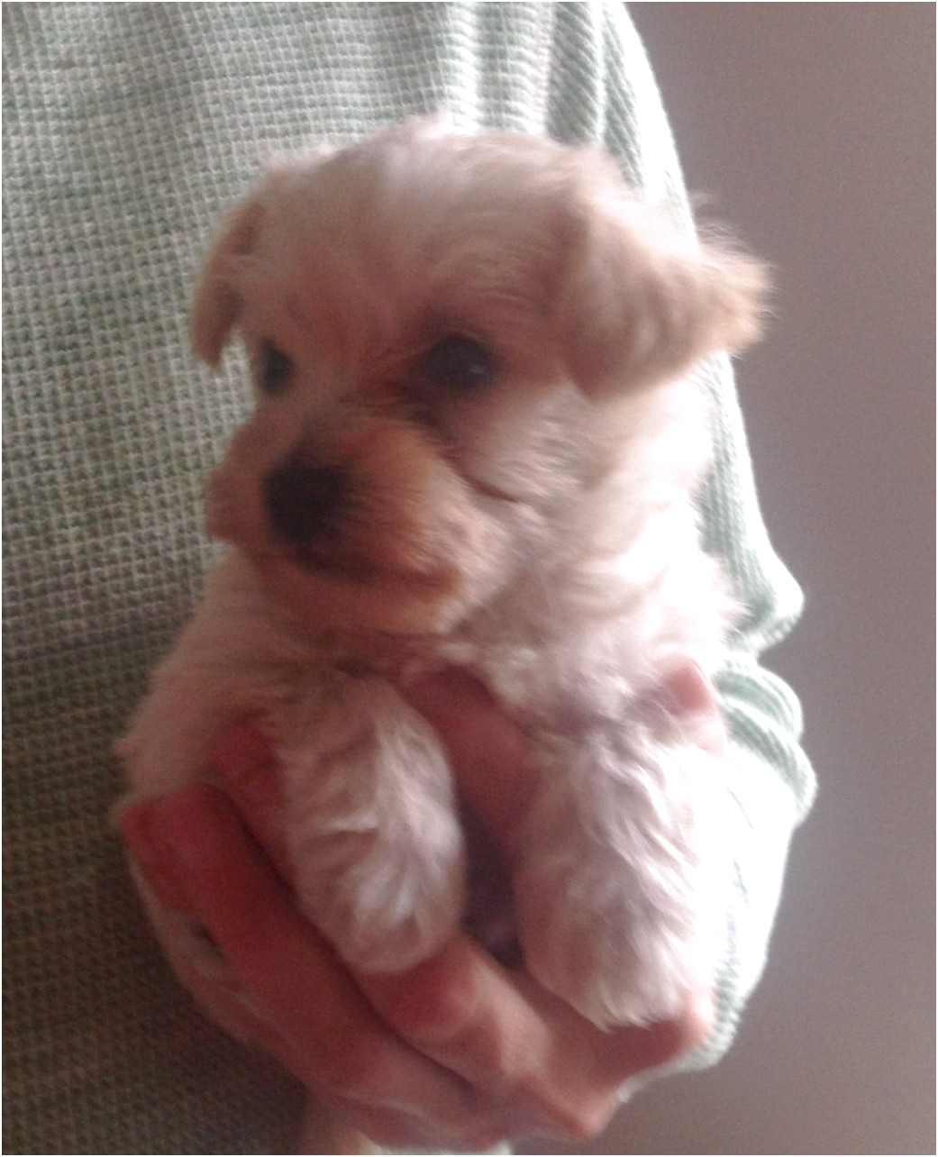 miniature yorkshire terrier for sale dorset