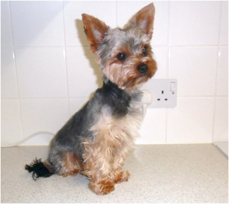 miniature yorkshire terrier for sale england
