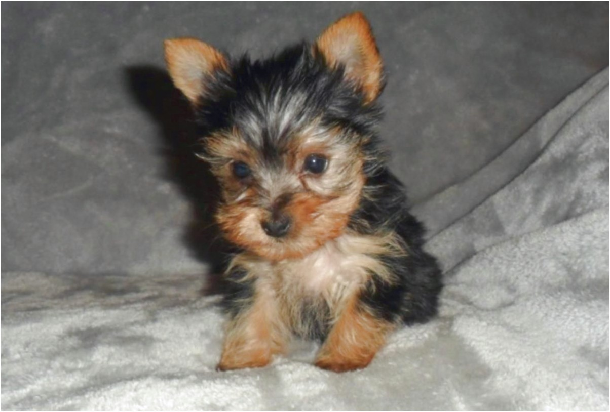 miniature yorkshire terrier for sale hull