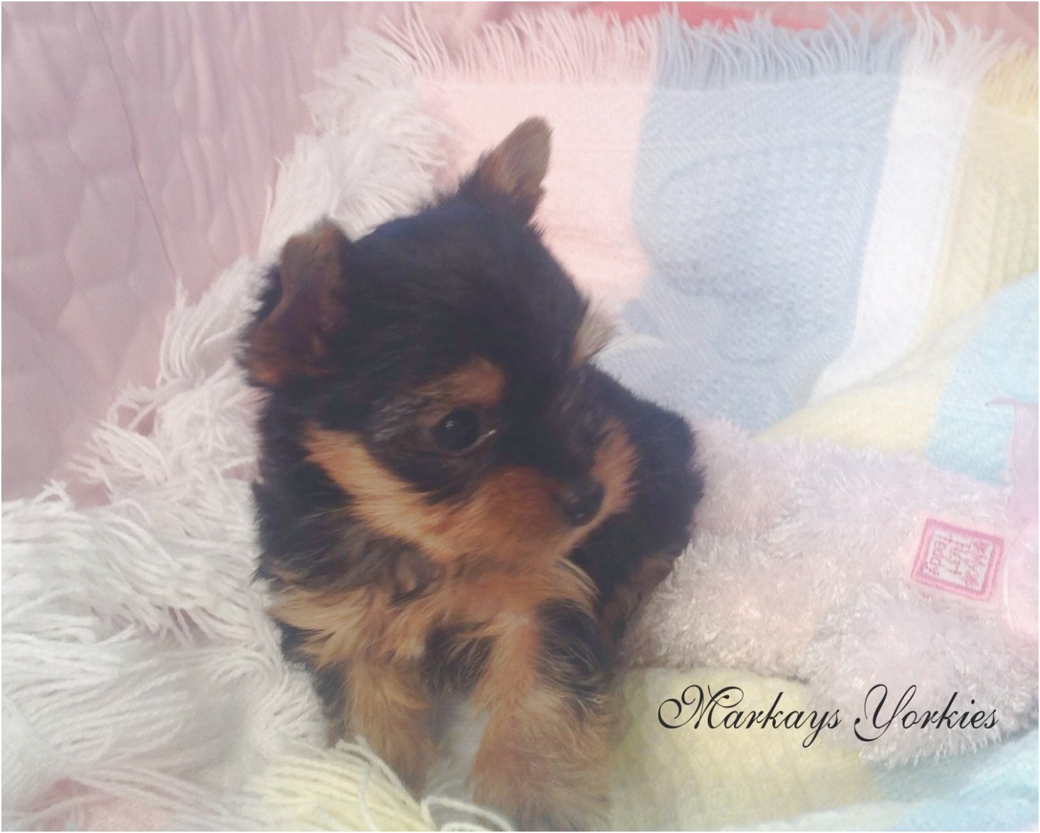 miniature yorkshire terrier for sale leeds