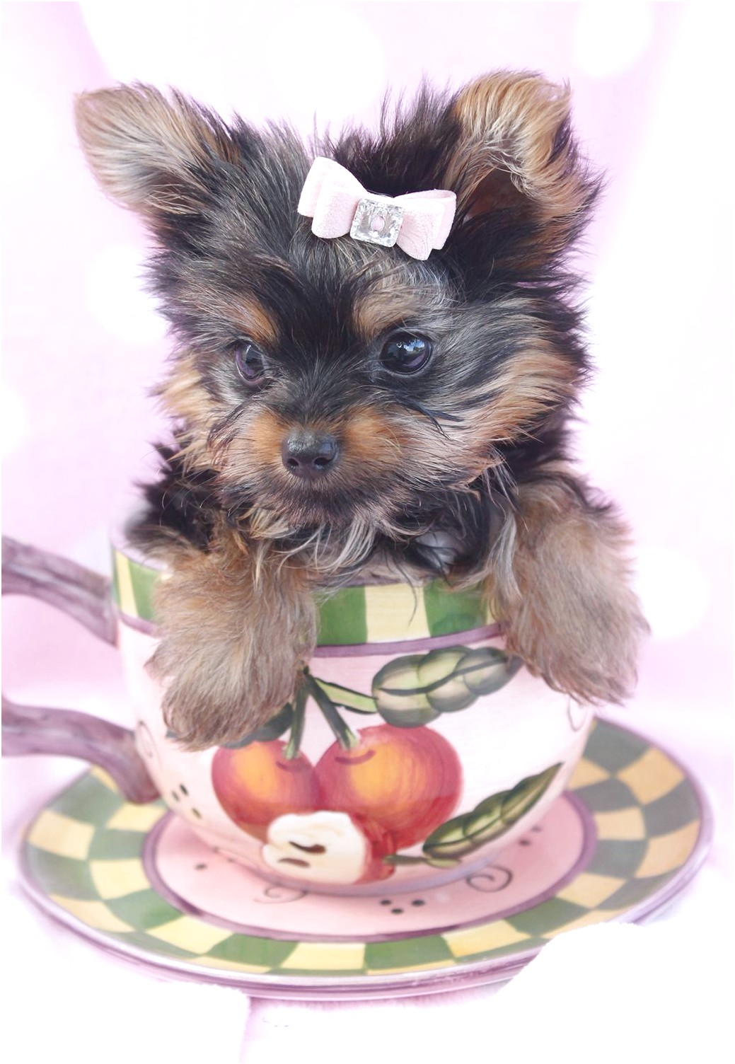 miniature yorkshire terrier for sale manchester