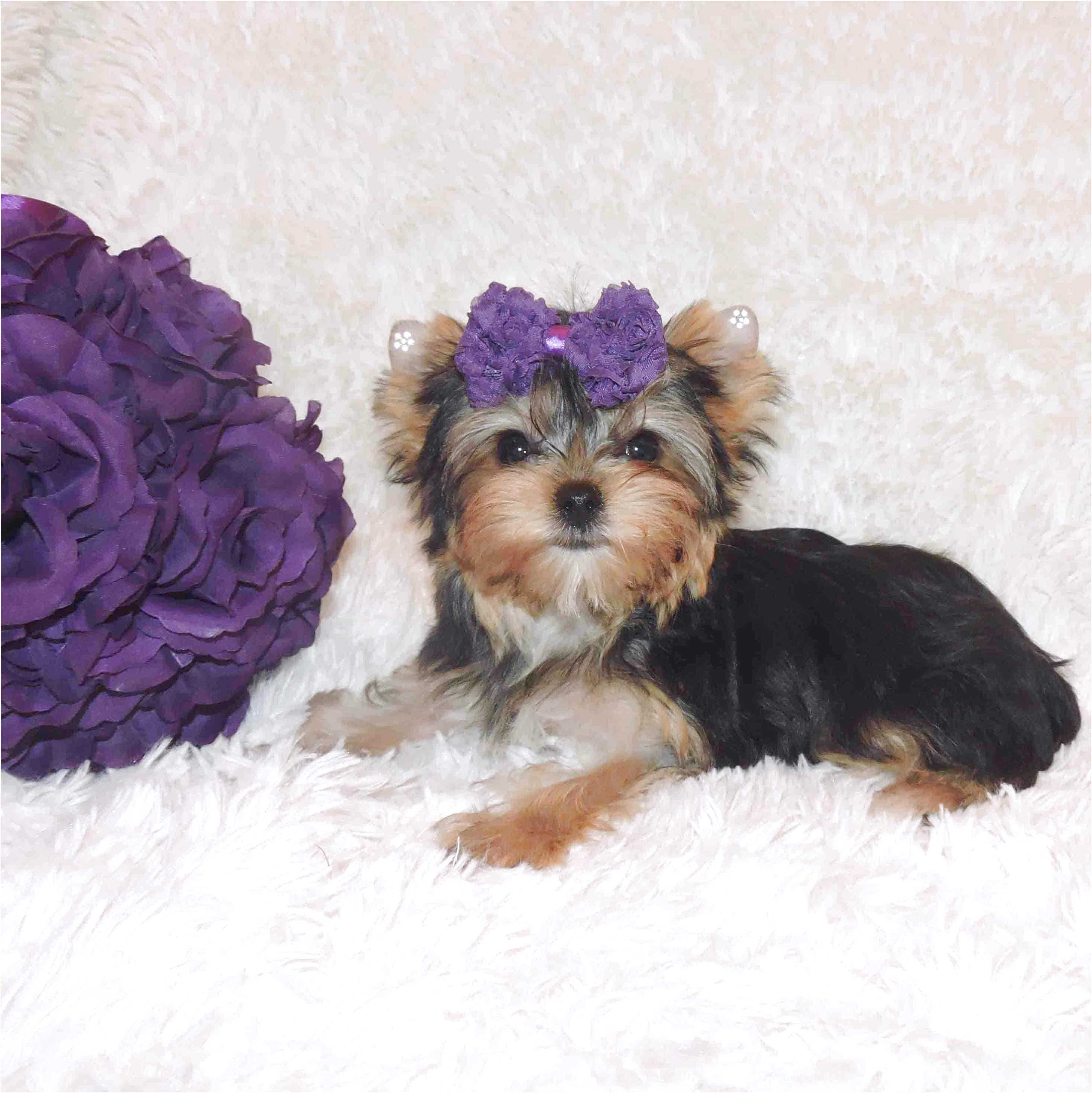 miniature yorkshire terrier for sale new zealand