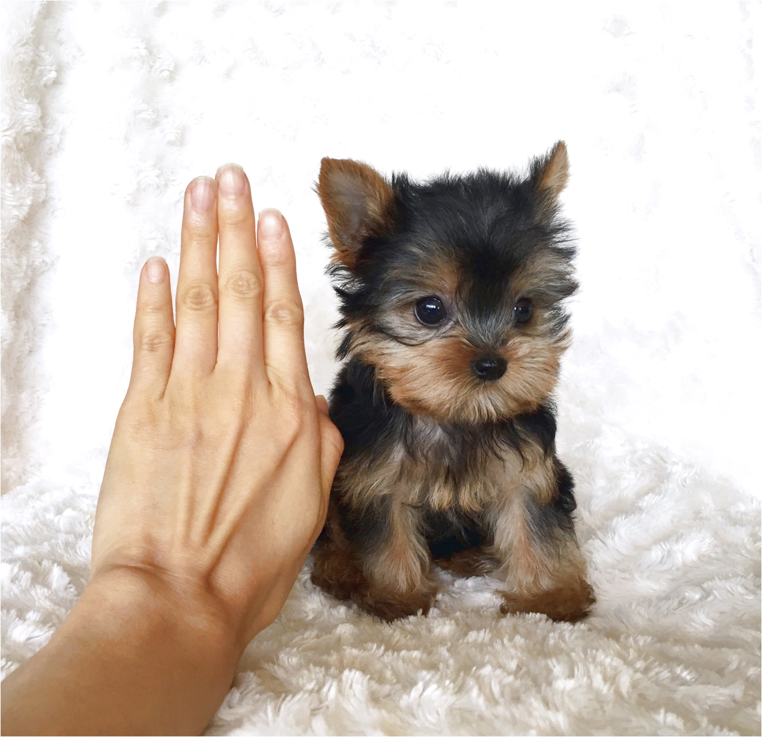 miniature yorkshire terrier for sale rotherham