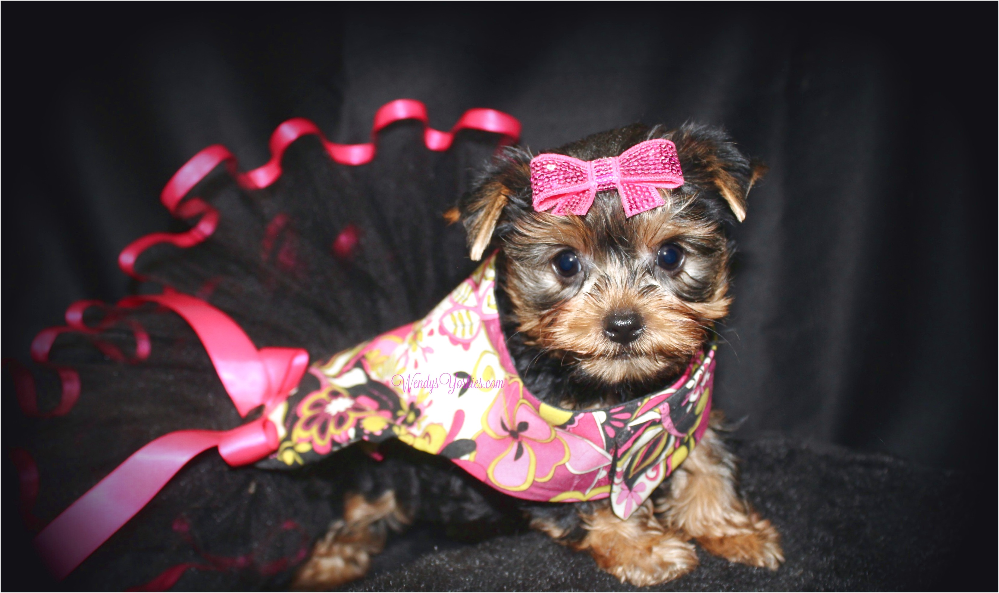 miniature yorkshire terriers for sale dublin