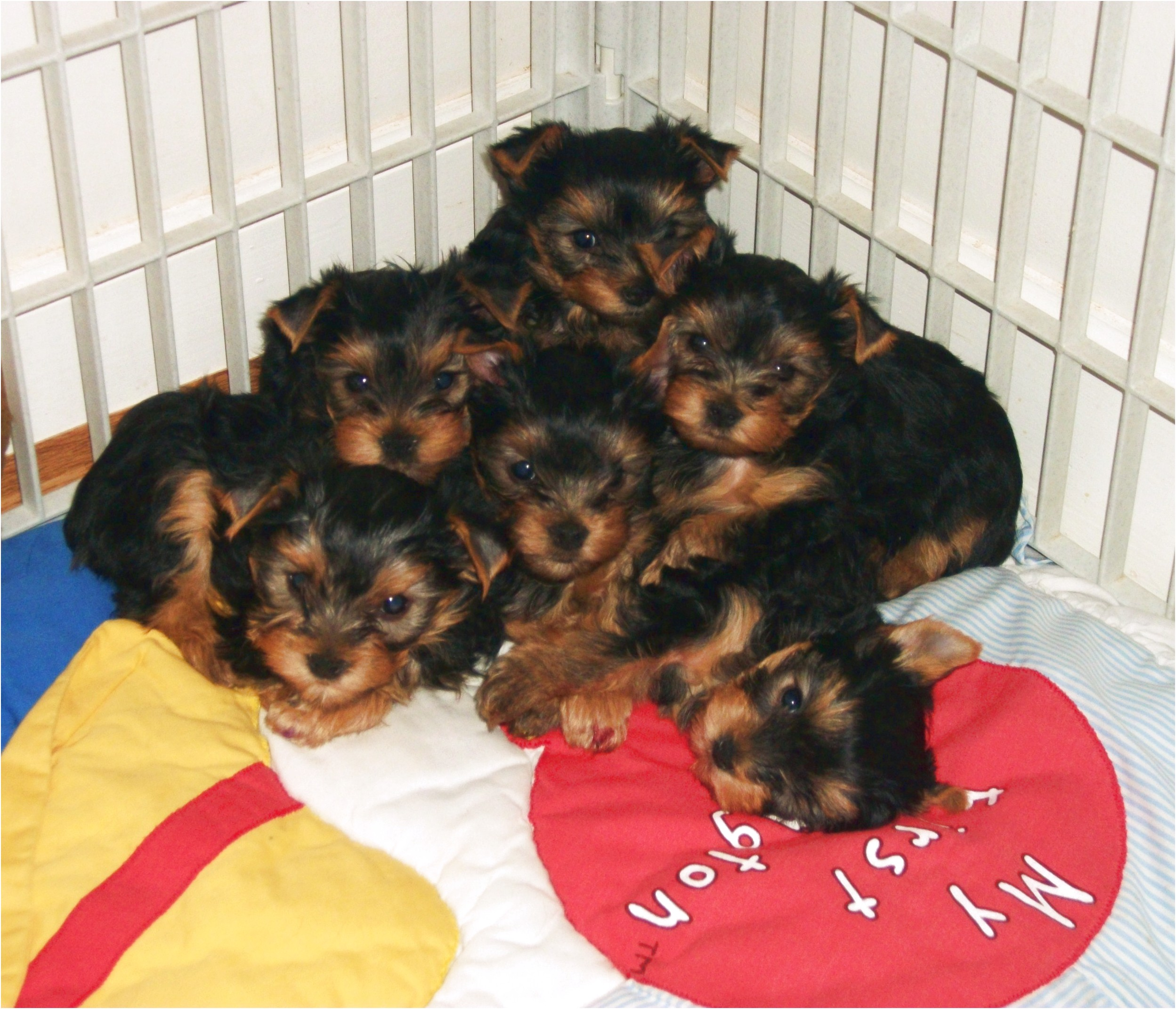 miniature yorkshire terriers for sale west midlands
