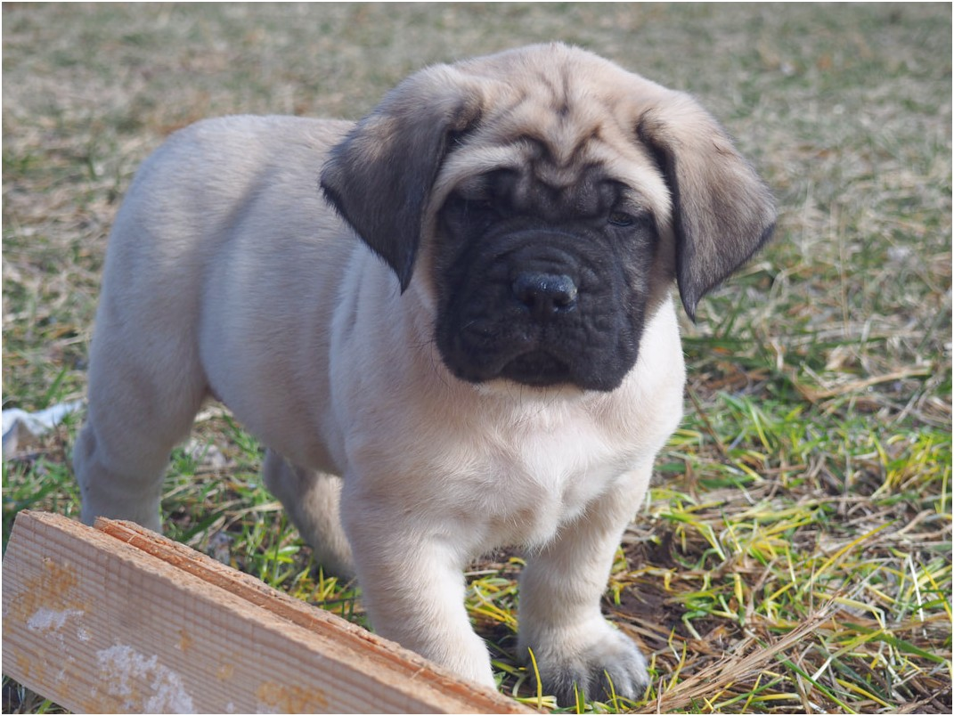 old english mastiff for sale in ohio