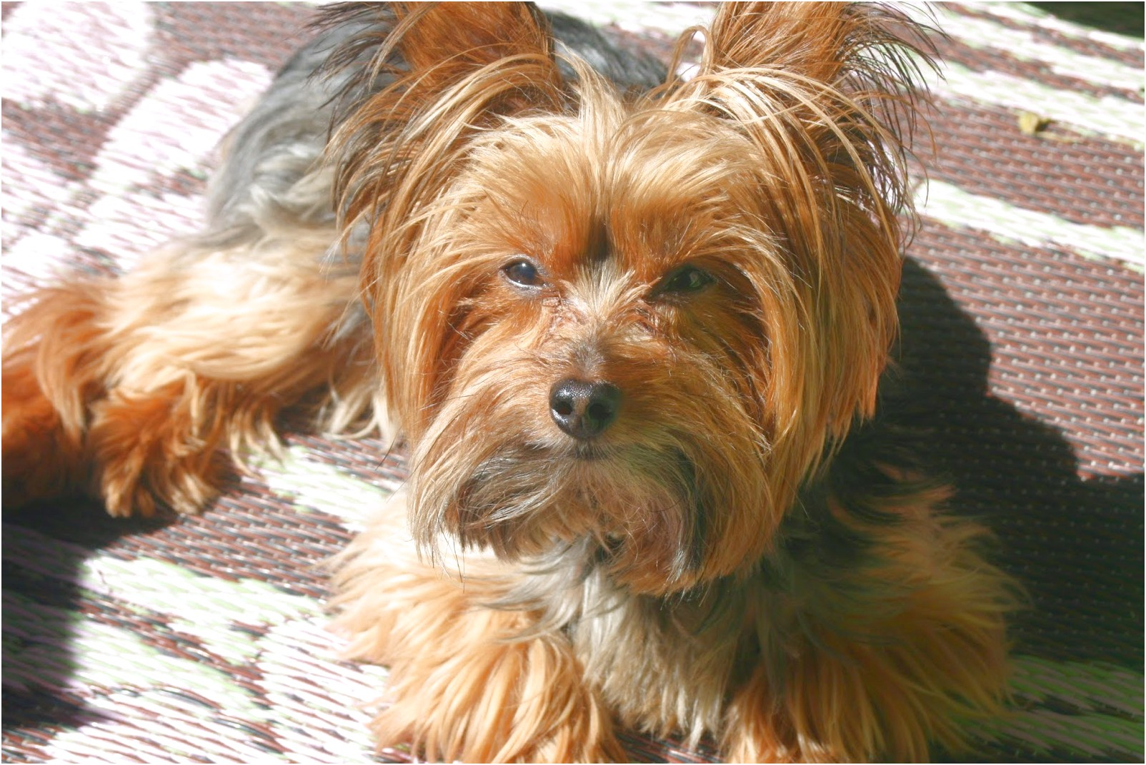 pedigree yorkshire terrier pups for sale
