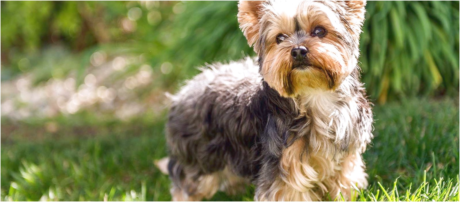 photo of a yorkshire terrier
